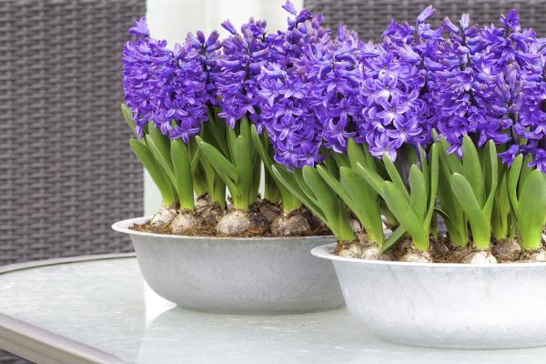 Cuidados de los jacintos - Cuándo plantar jacintos