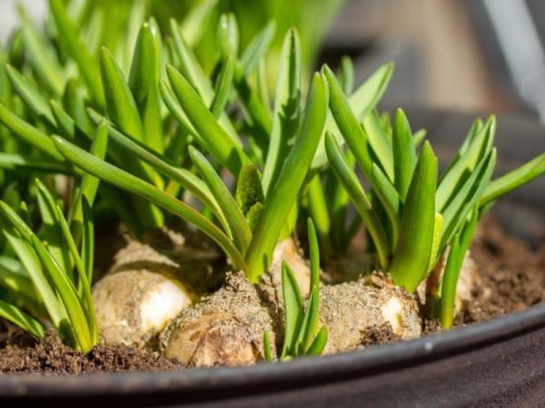 Cómo plantar ajos - Cuándo plantar ajos