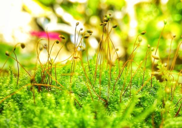 Tipos de musgos - Bryopsida