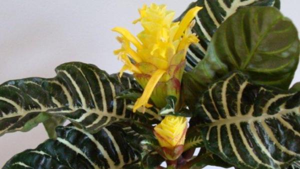 Plantas de interior ornamentales - Afelandra