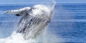 Cuál es la ballena más grande del mundo