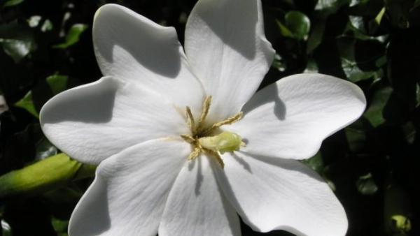 Plantas de interior ornamentales - Gardenia