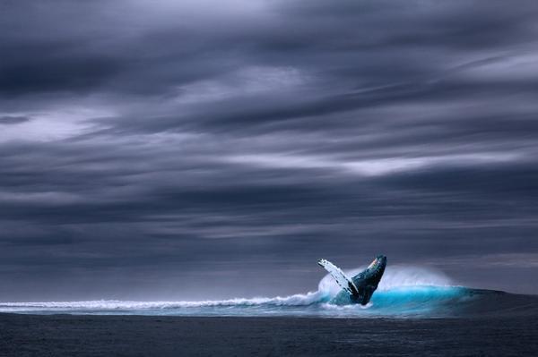 Cuál es la ballena más grande del mundo - La ballena azul está en peligro de extinción