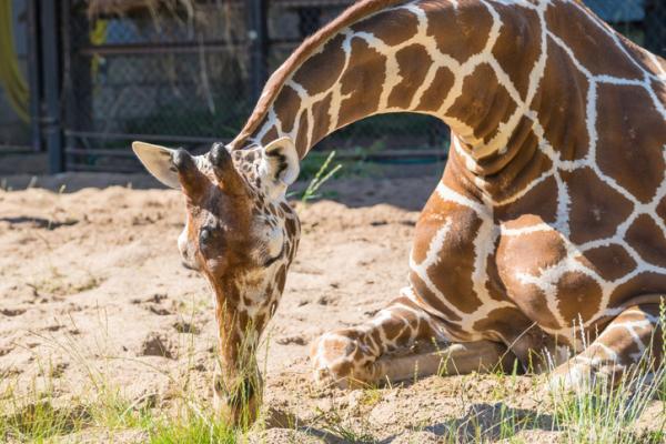 Animales que no duermen - Las jirafas