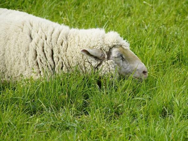 Animales que no duermen - Las ovejas
