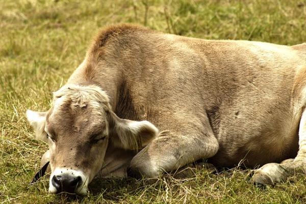 Animales que no duermen - Las vacas