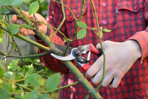 Rosales trepadores: cuidados y poda - Poda de los rosales trepadores: cuándo y cómo hacerla