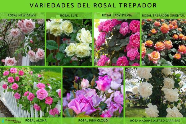 Rosales trepadores: cuidados y poda - Rosales trepadores: variedades y características