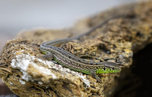 +10 animales de sangre fría - Los reptiles son animales de sangre fría: las lagartijas