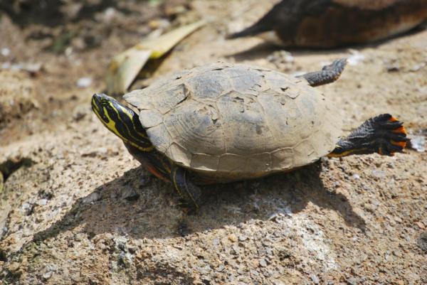+10 animales de sangre fría - Tortugas, reptiles que se termorregulan con el sol