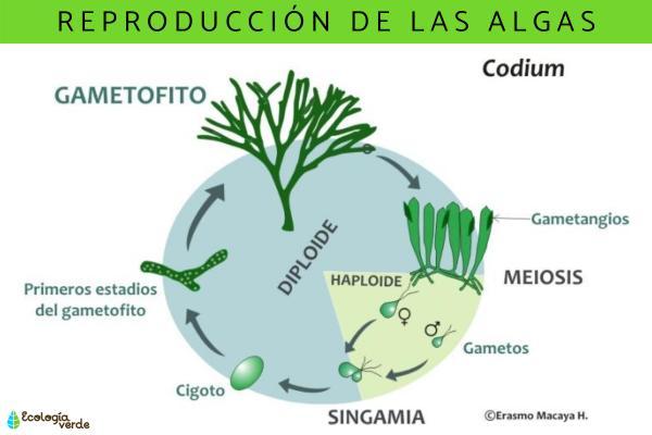 Reproducción de las algas