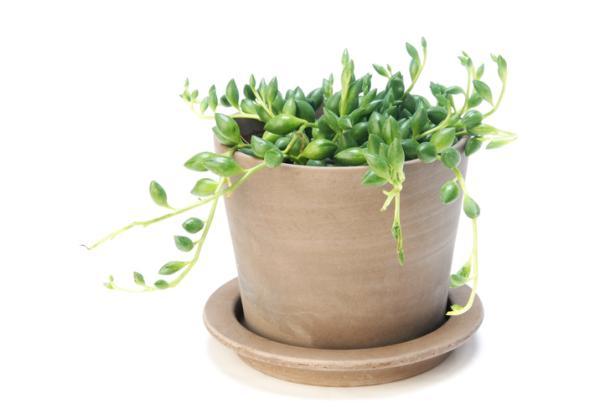 Planta rosario: cuidados - Riego de la planta rosario