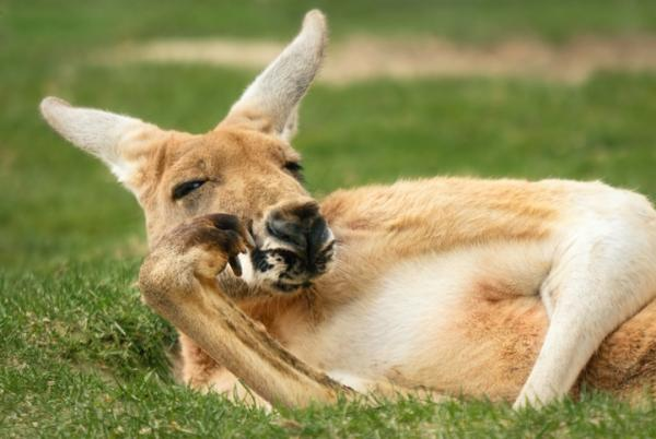 El canguro en peligro de extinción: causas e información - Características de canguro