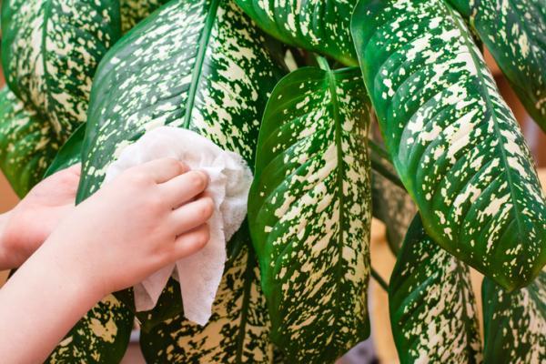Cómo limpiar las hojas de las plantas - Cómo limpiar las plantas de hojas grandes