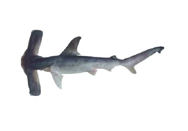 20 animales raros marinos en peligro de extinción - Cornuda planeadora