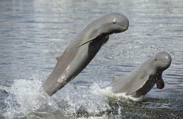 20 animales raros marinos en peligro de extinción - Delfín del río Irawadi