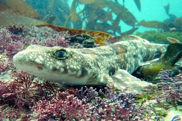 20 animales raros marinos en peligro de extinción - Puffadder shyshark