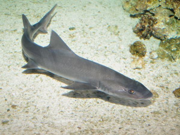 20 animales raros marinos en peligro de extinción - Tiburón mudo