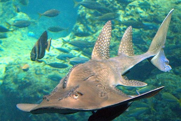 20 animales raros marinos en peligro de extinción - Tiburón raya