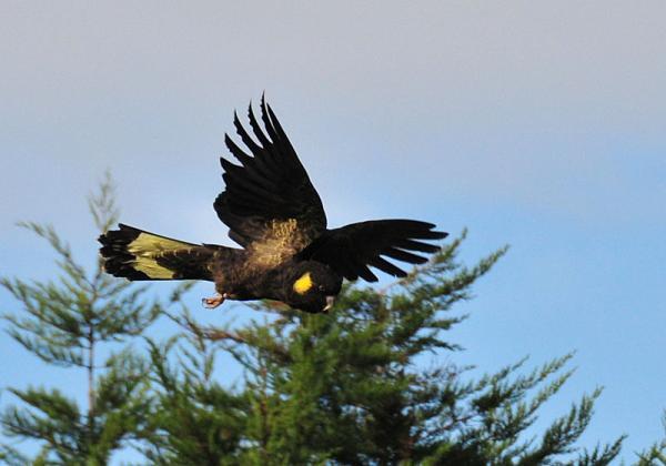 13 pájaros que cantan - Cacatúa negra de cola amarilla (Calyptorhynchus funereus)