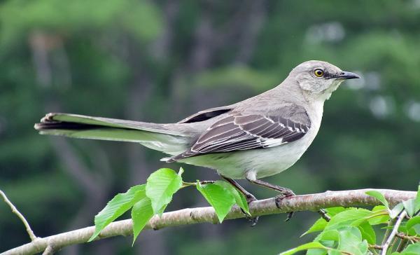 13 pájaros que cantan - Cenzontle común (Mimus polyglottos)