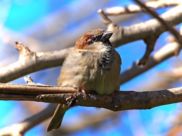 13 pájaros que cantan - Gorrión común o doméstico (Passer domesticus)