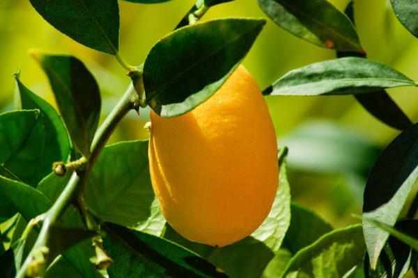 Tipos de limoneros - Meyer