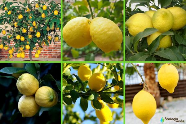 Tipos de limoneros - Otros tipos de limoneros