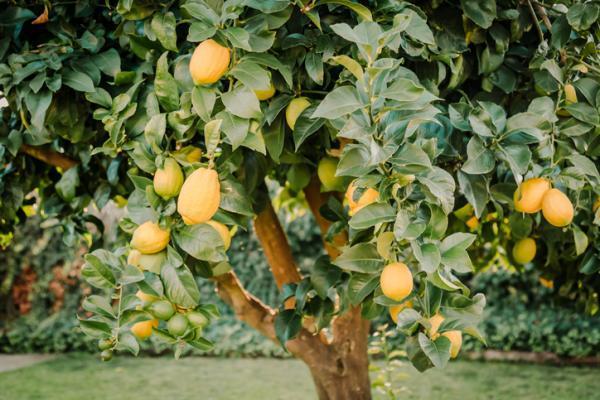 Tipos de limoneros - Primofiori