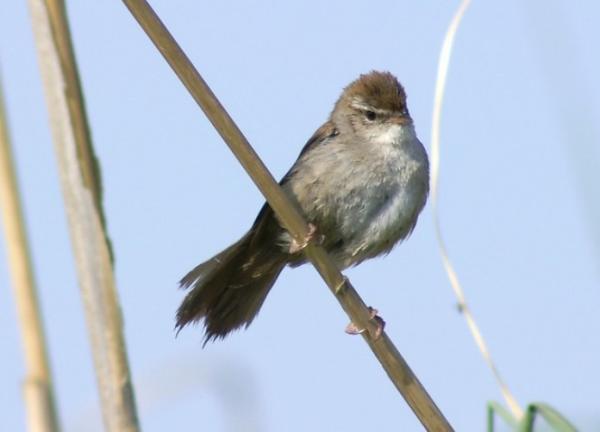 13 pájaros que cantan - Ruiseñor común (Luscinia megarhynchos), el rey entre los pájaros cantores