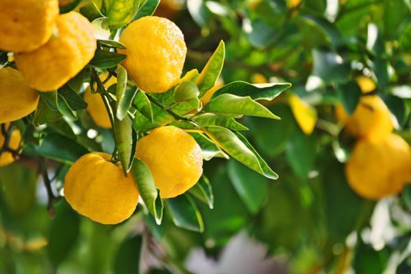 Tipos de limoneros - Yuzu