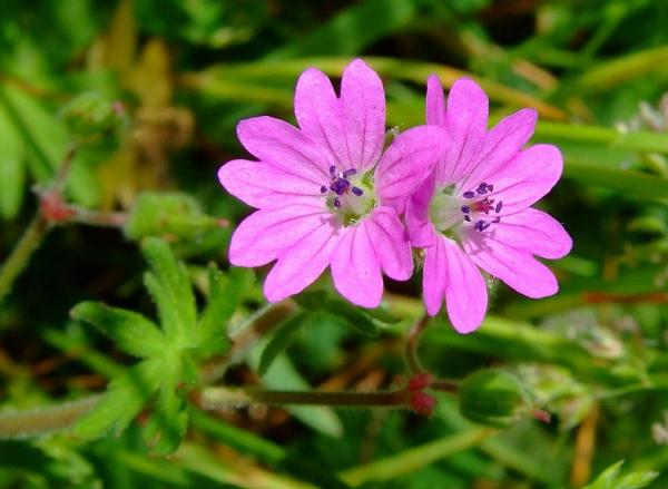 23 tipos de geranios - Geranium columbinum L.