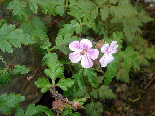 23 tipos de geranios - Geranium purpureum