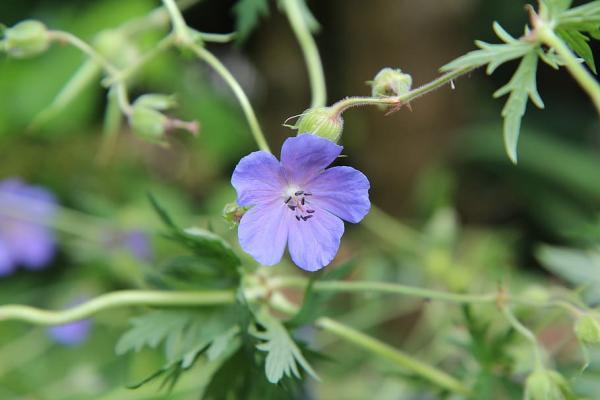 23 tipos de geranios - Geranium pusillum L.