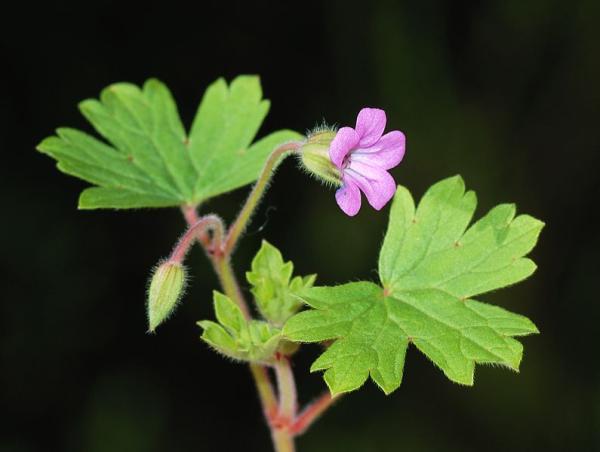 23 tipos de geranios - Geranium rotundifolium L., uno de los tipos de geranios con hojas grandes