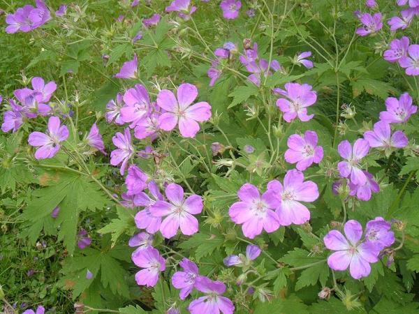 23 tipos de geranios - Geranium sylvaticum L.