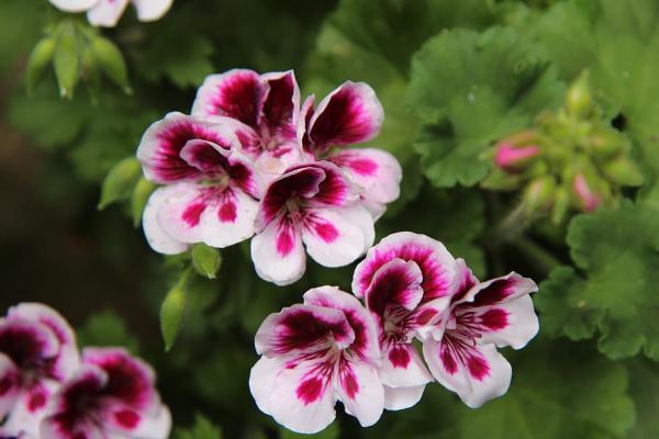 23 tipos de geranios - Pelargonium grandiflorum