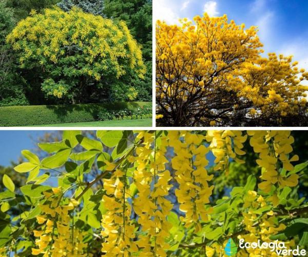 18 árboles con flores - Árboles con flores amarillas