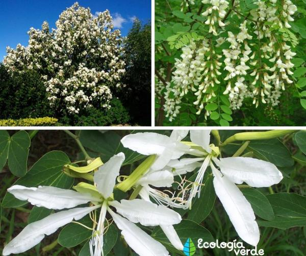18 árboles con flores - Árboles con flores blancas