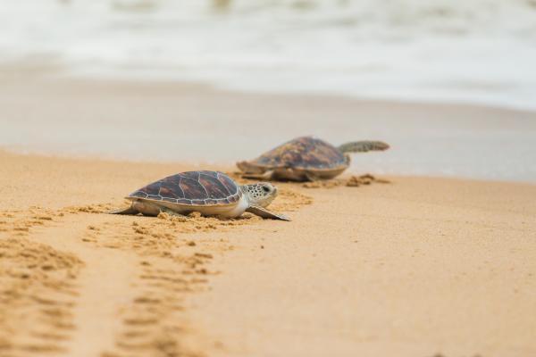 Por qué está en peligro de extinción la tortuga caguama - Por qué está en peligro de extinción la tortuga caguama - causas