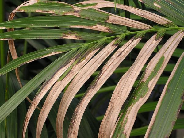 Palmera kentia: cuidados - Enfermedades de la palmera kentia