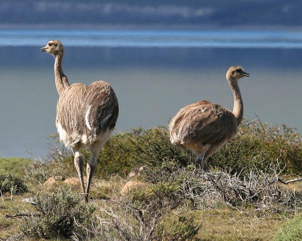 13 animales en peligro de extinción en Bolivia - Ñandú o avestruz andino (Pterocnemia pennata)