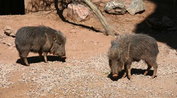 13 animales en peligro de extinción en Bolivia - Pecarí quilimero (Catagonus wagneri)