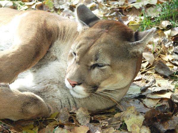 13 animales en peligro de extinción en Bolivia - Puma o león de montaña (Puma concolor)