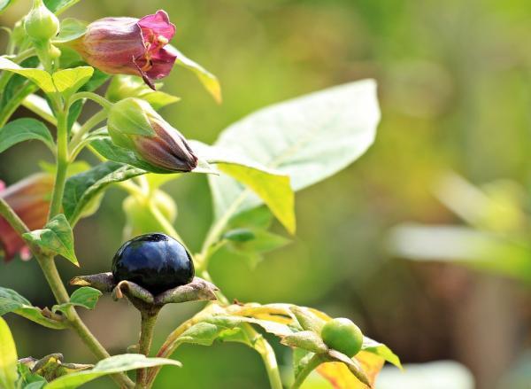 Cuáles son las plantas más venenosas del mundo - Belladona