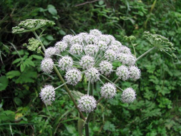Cuáles son las plantas más venenosas del mundo - Cicuta