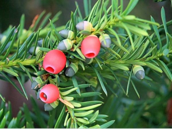 Cuáles son las plantas más venenosas del mundo - Tejo común o tejo negro