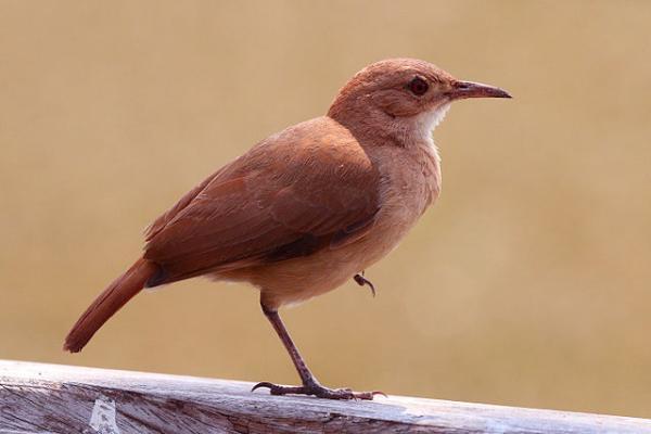 Animales autóctonos de Argentina - Hornero (Furnarius rufus)