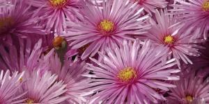 Planta rayito de sol o Lampranthus: cuidados