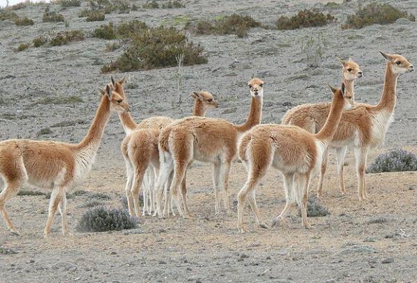 Animales autóctonos de Argentina - Vicuña (Vicugna vicugna)
